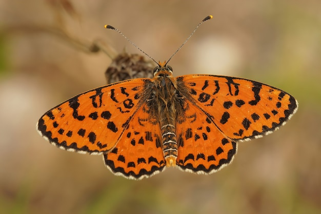 Closeup shot of a spotted fritillary butterfly