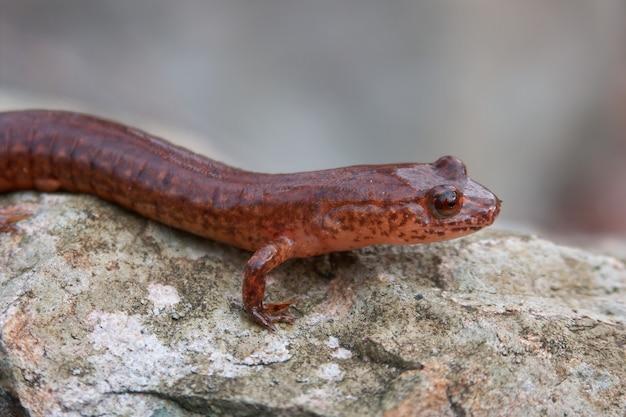 Closeup shot of a spring salamander, gyrinophilus porhyriticus on a rock