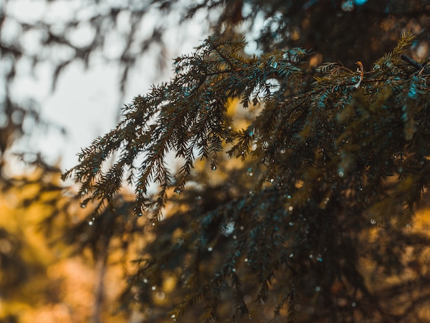 Closeup shot of the spruce tree branches with dewdrops on the leaves with blurred