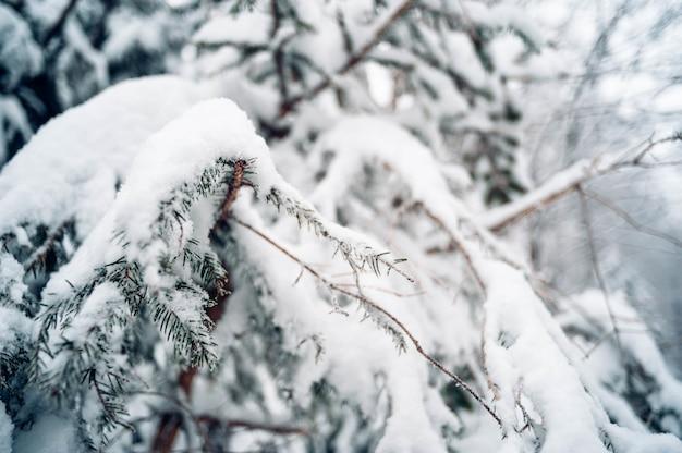 Colpo del primo piano dell'albero di abete rosso coperto di neve