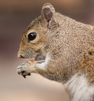 Closeup shot of a squirrel eating food
