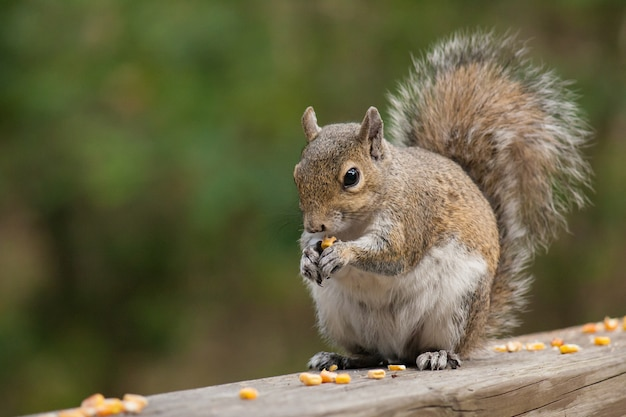 Closeup shot of a squirrel eating pieces of corn
