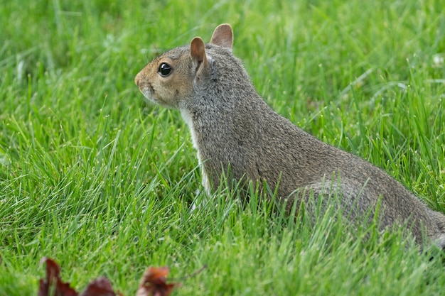 Closeup shot of a squirrel in the park on the grass