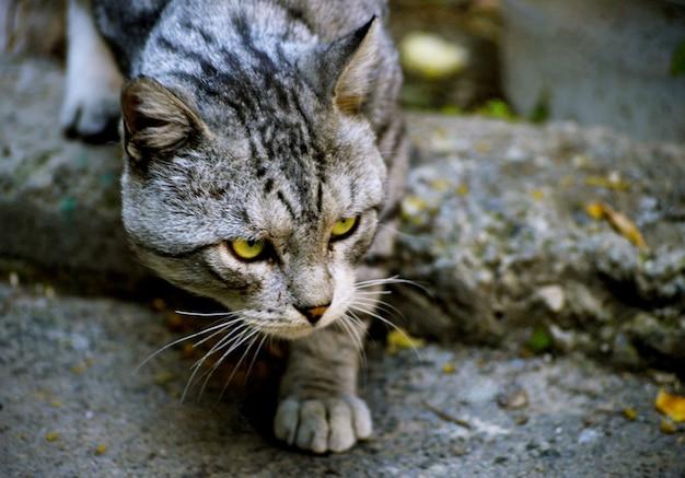 Inquadratura del primo piano di un gatto senza casa randagio con un viso carino e determinato a yerevan, armenia