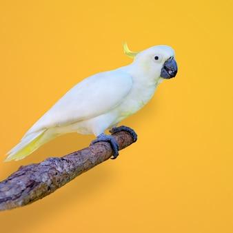 Colpo del primo piano di un cacatua dalla cresta di zolfo appollaiato sul ramo su uno sfondo giallo