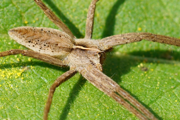Closeup shot of a sunbathing nursery web spider, pisaura mirabilis, on a green leaf