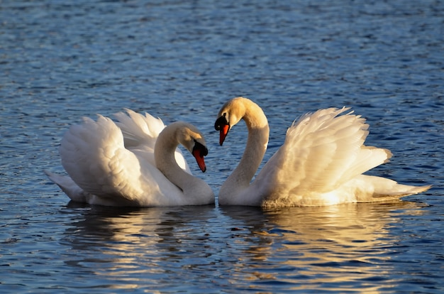 Closeup shot of swans on the water making a heart shape with their wings raised