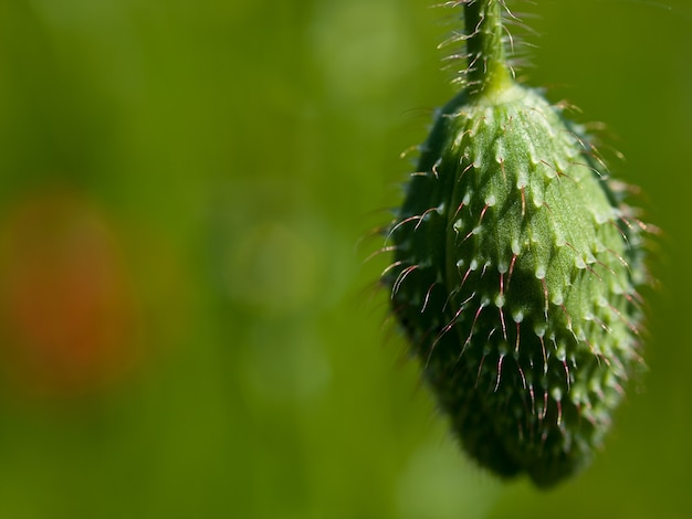 Closeup shot of a swollen sprout during daytime