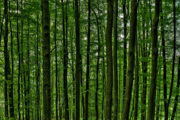 Closeup shot of tall trees in the middle of a green forest