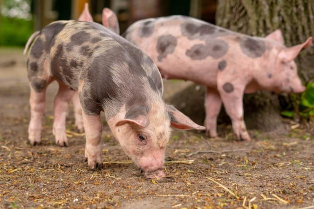 Closeup shot of three domesticated pigs