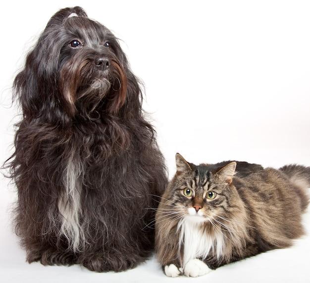 Primo piano di un terrier tibetano e di un gatto siberiano isolati su un muro bianco