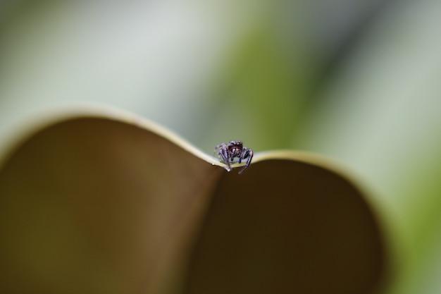 Colpo del primo piano di un minuscolo ragno su una foglia con uno sfondo sfocato