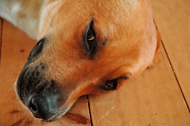 Closeup shot of a tired cute brown domestic dog laying on the wooden floor
