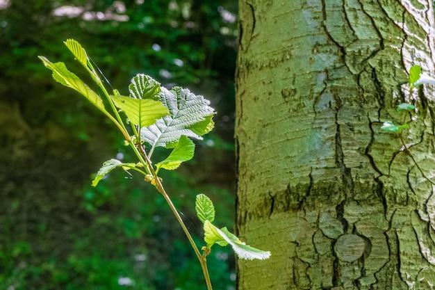 Colpo del primo piano di un ramo di albero con foglie verdi in una foresta