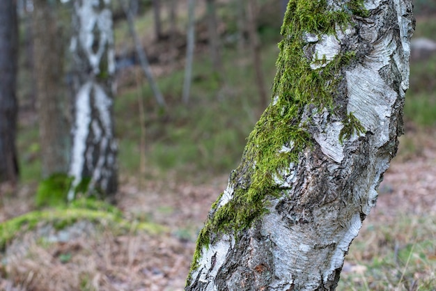 Colpo del primo piano di un albero coperto di muschio su uno sfondo sfocato