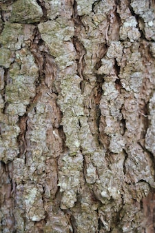 Closeup shot of a trunk of a pine tree