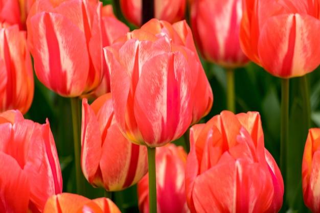 Colpo del primo piano dei fiori del tulipano nel campo in una giornata di sole - perfetto per lo sfondo