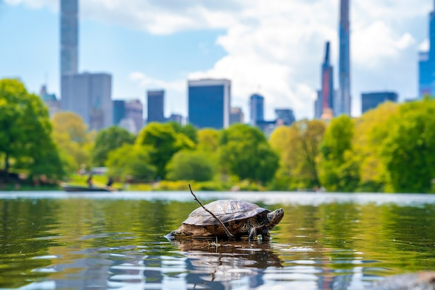 Colpo del primo piano di una tartaruga in uno stagno nel central park, new york, stati uniti d'america