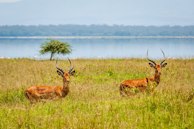 Closeup shot of two antelopes in the greenery with a lake