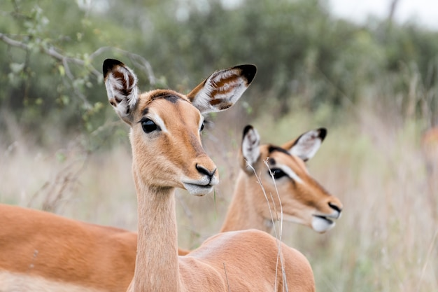 Closeup shot of two beautiful deer in the kruger national park