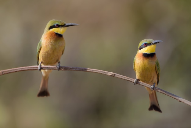 Closeup shot of two bee-eater bird on a branch