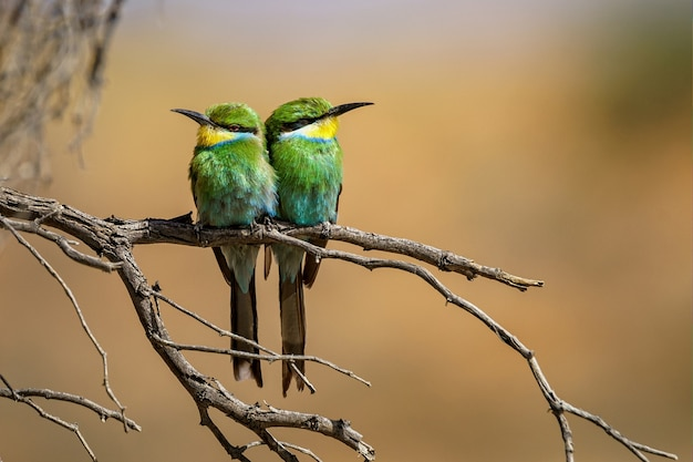 Closeup shot of two bee-eaters perched on a tree branch