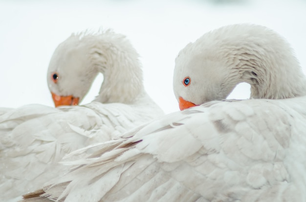 Closeup shot of the two cute white geese with twisted necks
