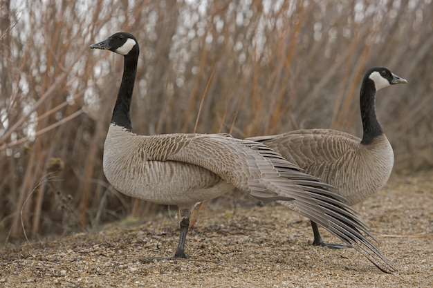 Closeup shot of two geese standing near each other