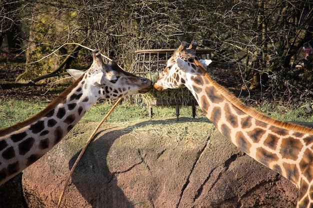 Closeup shot of two giraffes eating hay from a feeding trough as if kissing each other