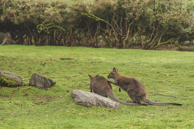 Closeup shot of two kangaroos playing by a rock in a field