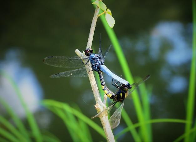 Colpo del primo piano di due libellula di accoppiamento con sfondo sfocato