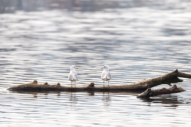 Closeup shot of two white gulls standing on a piece of wood in the water