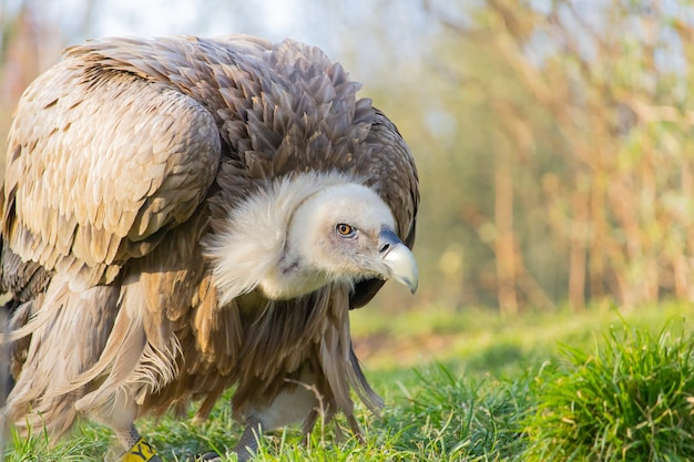 Closeup shot of a vulture in a crouched  position in a zoo