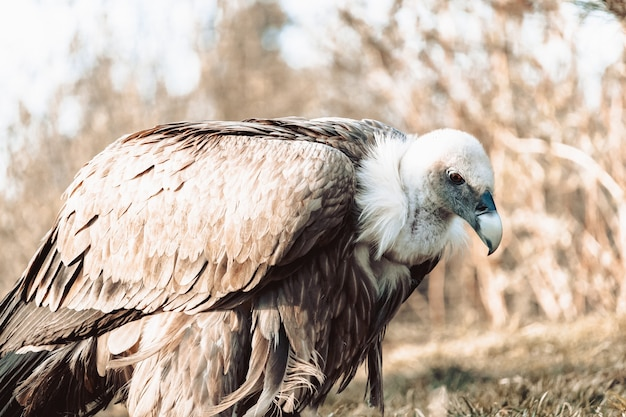 Colpo del primo piano di un avvoltoio a terra con toni seppia