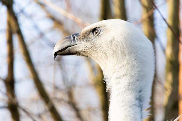 Colpo del primo piano della testa di un avvoltoio con occhi attenti