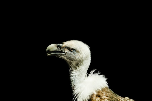 Closeup shot of a vulture with a black background