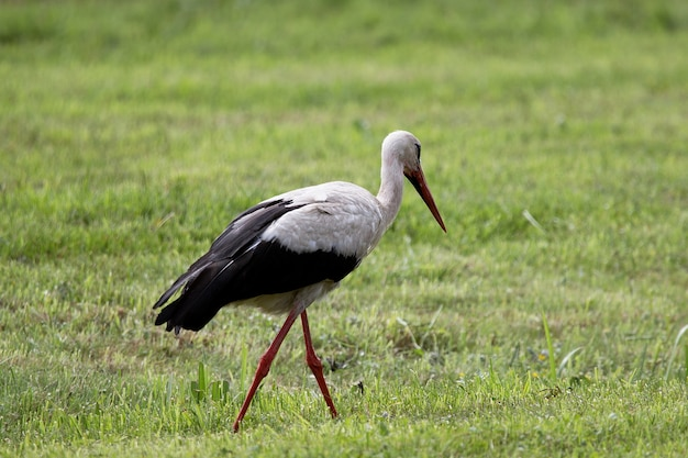 Closeup shot of a walking stork