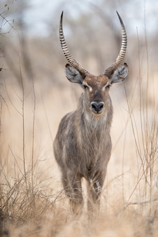 Closeup shot of a waterbuck