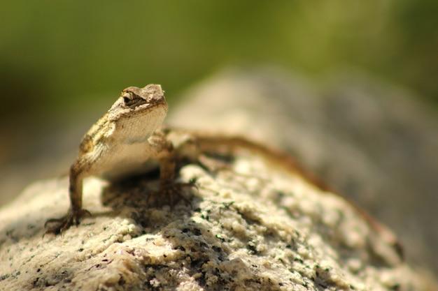 Closeup shot of a western fence lizard sitting on a stone under a sunlight