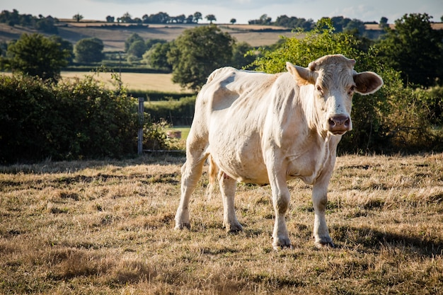 Closeup shot of a white cow grazing in a meadow, surrounded by a fence
