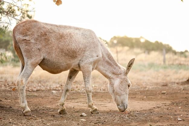 Closeup shot of white donkey in farmland