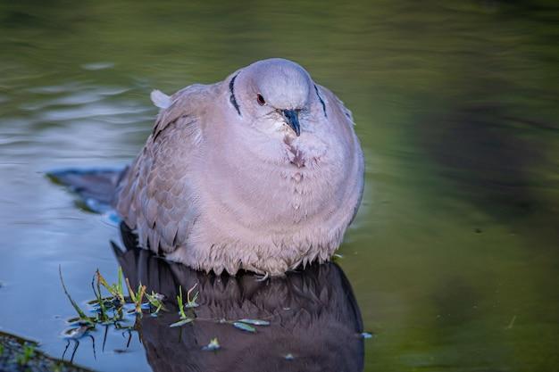 Colpo del primo piano di un uccello grasso bianco che galleggia su una superficie calma del lago