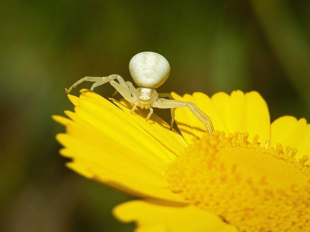 Colpo del primo piano del ragno granchio oro bianco sul fiore giallo