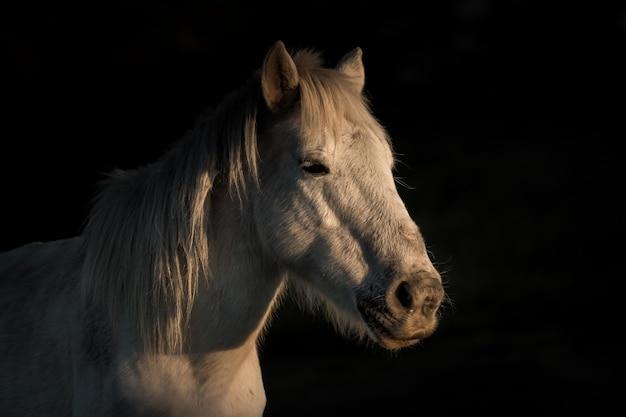 Colpo del primo piano di un cavallo bianco che guarda lateralmente con uno sfondo nero