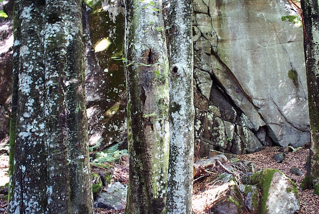 Closeup shot of the white lichens on the tree trunks