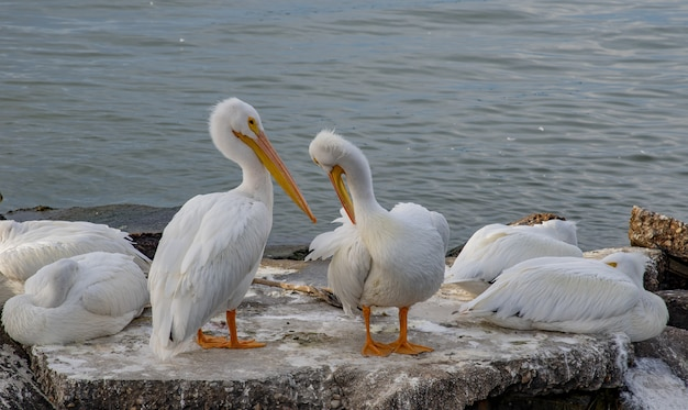 Closeup shot of white pelicans sitting on a stone surface inside the ocean