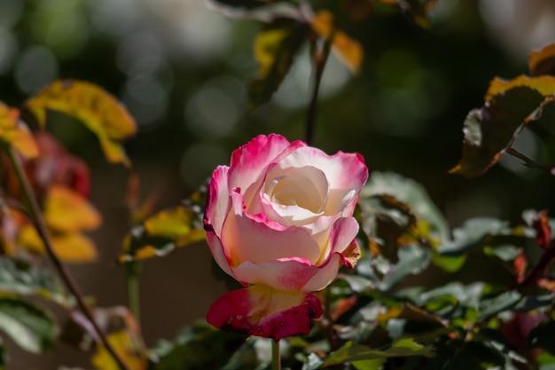 Colpo del primo piano di una rosa bianca e ponk con sfocato