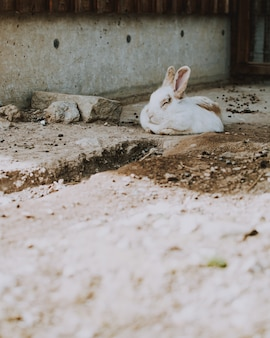 Closeup shot of a white rabbit laying on a concrete surface in a barn