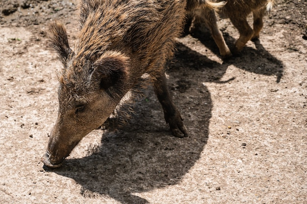 Closeup shot of wild boar feeding on the ground in a zoo on a sunny day