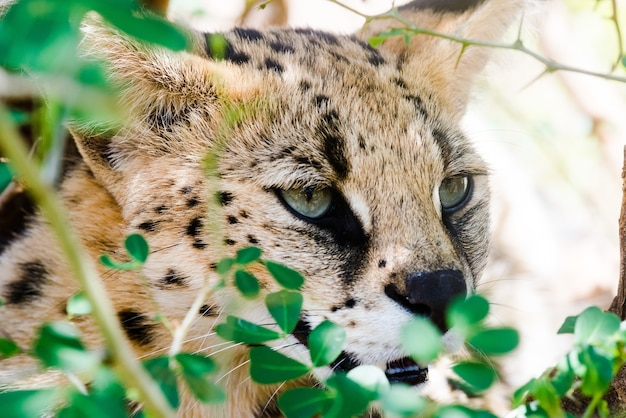 Closeup shot of a wild caracal with green eyes